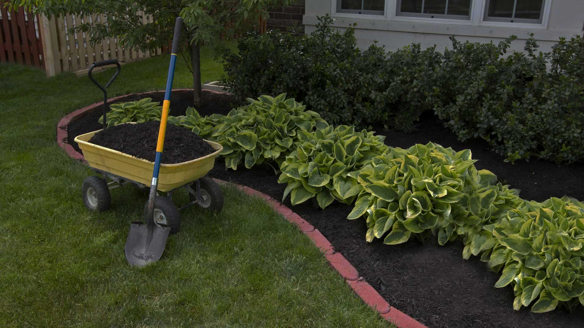 Wheel barrel filled with mulch next to de-weeded garden bed filled with triple mix and hostas